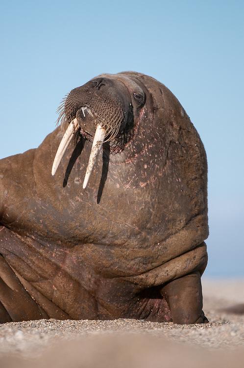 Walrus (Odobenus rosmarus) portrait