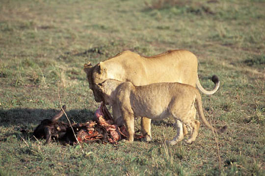 Lion, (Panthera leo) Adult lioness and older cub feeding on wildebeest. Masai Mara Game Reserve.Kenya. Africa.