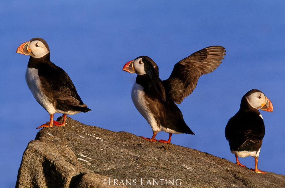 Atlantic puffins, Fratercula cirrhata, Outer Hebrides, Scotland