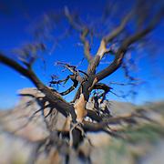 Desert Oak Deep Blue Sky - Lensbaby