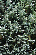 Leyland Cypress (Leylandii) X Cuprocyparis leylandii (Cupressaceae) HEIGHT to 35m. Evergreen hybrid between the Monterey and Nootka Cypresses (see pp 34-37), first raised in 1888. Normally a tall, narrowly conical tree; densely foliaged, fast-growing and hardy. BARK Reddish-brown with thin vertical ridges; usually hidden by dense branches. BRANCHES Arise along whole length of trunk, and are almost vertical, with a dense growth of green shoots. LEAVES Pointed, scale-like and about 2mm long. REPRODUCTIVE PARTS Male and female cones are seldom produced, but occur on same tree. Male cones are small and yellow, growing at tips of shoots; release pollen in March. Female cones are up to 3cm across, rounded with 8 scales bearing pointed processes; green at first, becoming brown and shiny. STATUS AND DISTRIBUTION Manmade hybrid, hence does not have a native range; today, very widespread in parks and gardens. Tolerant of most soil types.