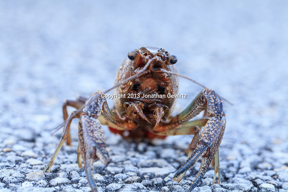 Closeup view of a crayfish, probably a Procambarus allen or Blue Crayfish, on a paved path in the Shark Valley section of Everglades National Park, Florida. WATERMARKS WILL NOT APPEAR ON PRINTS OR LICENSED IMAGES.