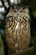 Deu, Deutschland: Uhu (Bubo bubo), Porträt, sitzt auf einem Ast, Lebensraum: Alpen, Wildpark Bad Mergentheim, Baden-Württemberg | DEU, Germany: Eurasian eagle owl (Bubo bubo), portrait, sitting on a limb, habitat: Euopean Alps, wild park Bad Mergentheim, Baden-Wuerttemberg |