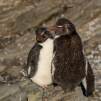 A group of rockhopper penguins hang out in a rocky outcrop during their catastrophic moult at Franklin Bay on Isla de los Estados, Argentina.