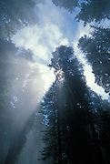Redwood trees, fog and sun rays; Lady Bird Johnson Grove, Redwoods National Park, California.