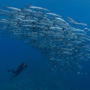 This is my friend Eric Cheng photographing a large school of barracuda at a dive site called Point P in the Eastern Fields of Papua New Guinea. Eric is diving with a KISS sport rebreather.