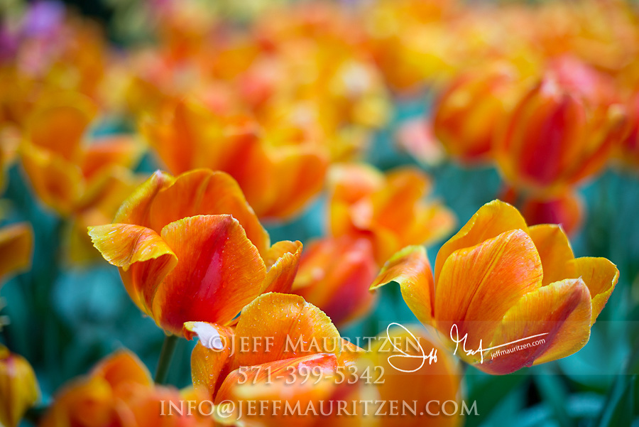 Orange tulips in bloom in springtime.