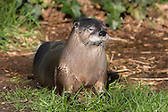 North American Otter - Lutra americana