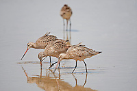 A Marbled Godwit feeds in a shallow pond in northern Utah.