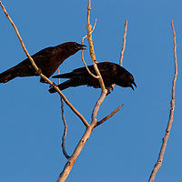 Crows scolding a great horned owl.