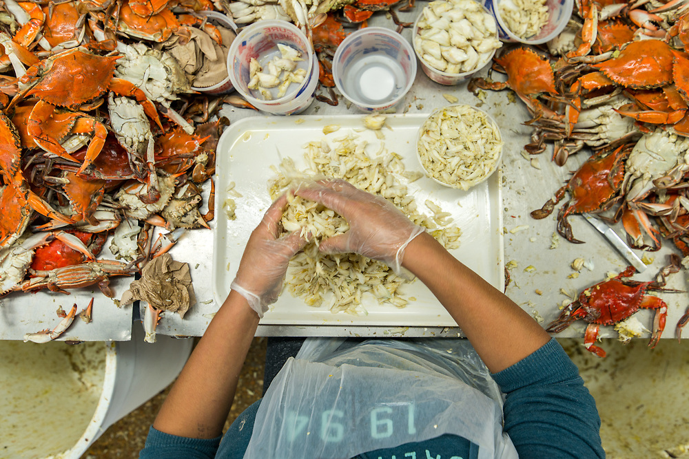 Crab pickers at seafood processing plant in Cambridge Maryland