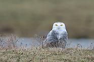 Snowy Owl Fenner