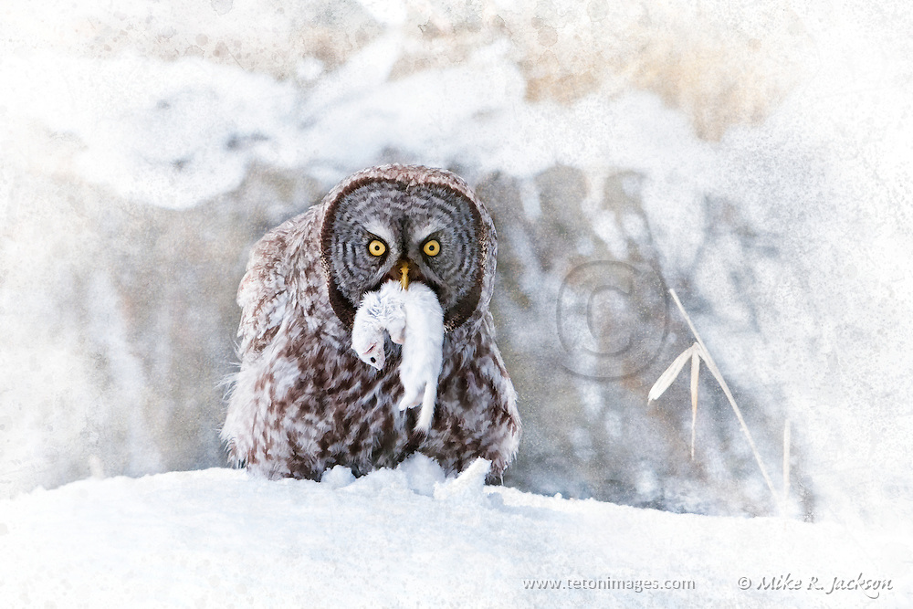 Great Gray Owl with Ermine Catch