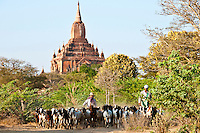 Villager herding goats, with Shwegugyi Temple in the background, Myanmar. Exotic places wall art. Fine art photography prints for sale.