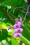 Orchid, Hawaii Tropical Botanical Garden, Hilo, Hamakua Coast, Big Island of Hawaii
