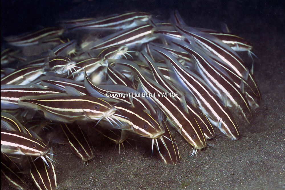 School of Striped Catfish - juvenile form.(Plotosus lineatus).Lembeh Straits, Indonesia.