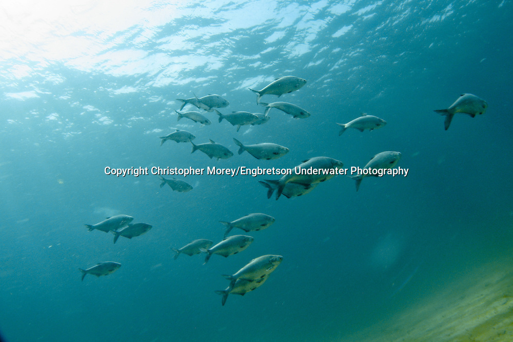 School of Gizzard Shad<br /> <br /> Christopher Morey/Engbretson Underwater Photo