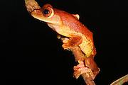harlequin flying frog, sabah, borneo