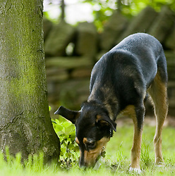 Calm quiet Young Black and Tan juvenile mongrel dog sniffs at the base of a mature tree in the park <br /> <br /> <br /> Wallace Walk 22 July  Copyright Paul David Drabble