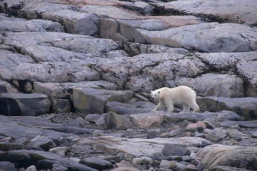 "Polar Bear, (Ursus maritimus) Polar Bear on shore of Wager Bay, Northwest Territories,  (""""""""Inuit name Nunavut""""""""), Canada."