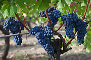 Merlot grapes on ancient vine at Chateau Lafleur at Pomerol in the Bordeaux region of France