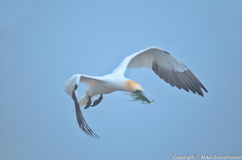 Northern gannet (Morus bassanus) in flight over colony on Bonaventure Island (Île Bonaventure). <br />Parc national de l'Île-Bonaventure-et-du-Rocher-Percé<br />Quebec<br />Canada