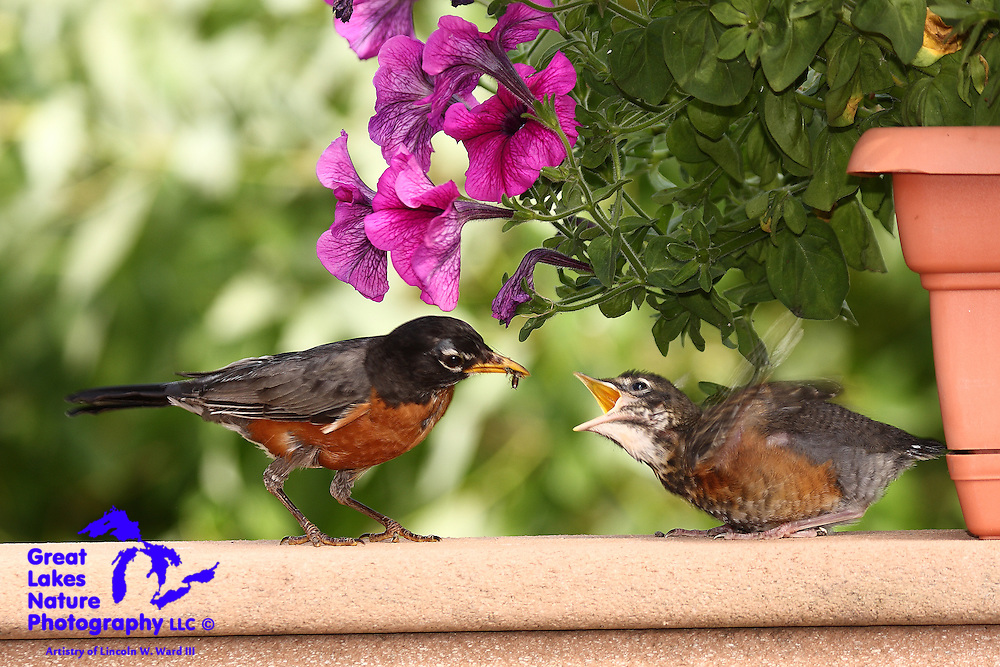 This little robin waited a long time, but Mom showed up, eventually, with a meal. He is so excited that his wings are a blur!