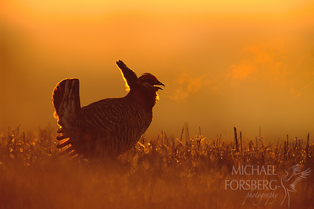 Pawnee County, Nebraska.  At sunrise on a frosty, dew covered hilltop, a male greater prairie chicken erects his tail, droops his wings and proclaims its territory in a repetitive, almost harmonic booming sound for all others chickens to hear. Each spring, prairie chickens return to these elevated, grazed areas in grasslands called 'leks', or 'booming grounds', where breeding males perform ancient courtship displays and fight to compete for the female's favor. Like many other plains species, prairie chickens have suffered significant habitat losses over the years as prairie has been converted to farmland or other development. Today their numbers continue to decline over most of their range.