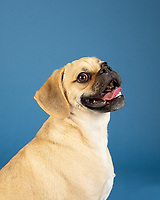 Portrait of young adorable happy puggle