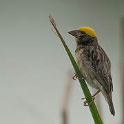 The streaked weaver (Ploceus manyar) is a species of weaver bird found in South East Asia.