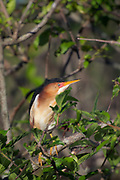 Least Bittern - Millers Lake