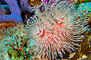 Alberto Carrera, Feather Duster Worms, Tube Worm, Polychaete, Bunaken National Marine Park, Bunaken, North Sulawesi, Indonesia, Asia