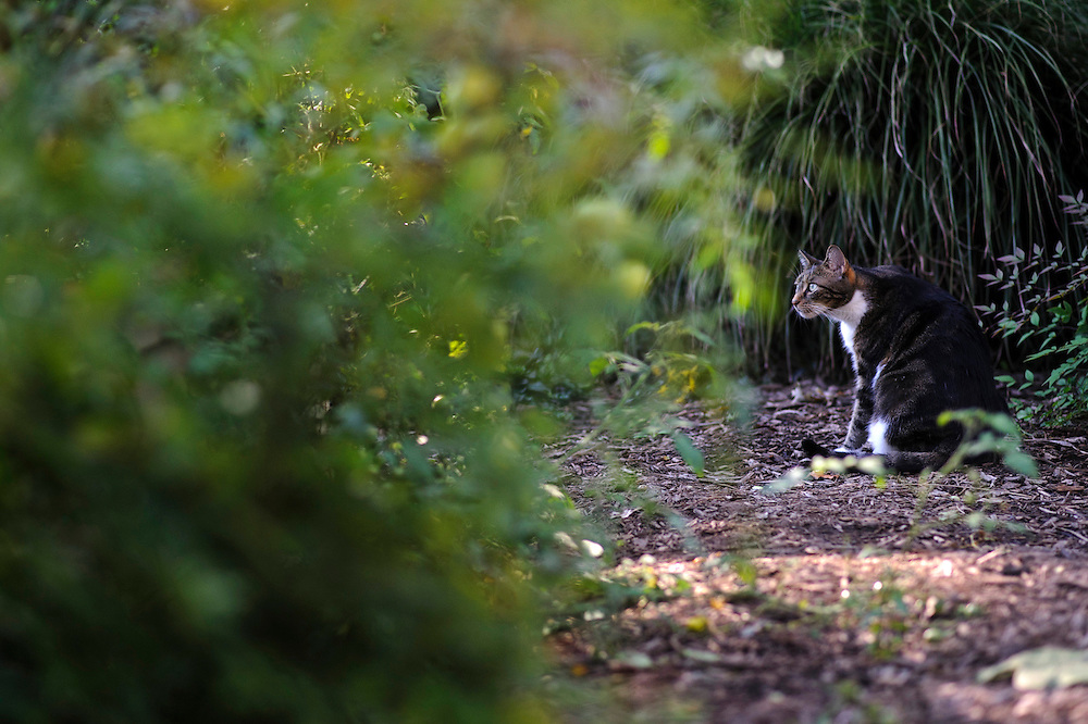 photo by Matt Roth..A cat peruses the garden at Takoma Village Cohousing complex in Washington, D.C., Saturday, September 22, 2012. The garden area is comprised of shared and private garden areas.