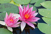 Pink water lilies (Nymphaea) float on a small pond in Prosser, Washington.