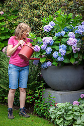 Watering a large container of Hydrangea macrophylla Endless Summer