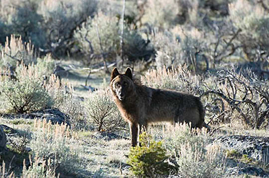Gray Wolf (Canis lupus) Wild, Yellowstone National Park. Spring. April.