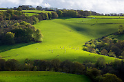 Cattle on rolling hills in Exmoor National Park near Dunster in Somerset, United Kingdom