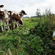 """Nederland Horst 30 september 2008 20080930 Foto: David Rozing ..Serie vernattingscampagne """" Nieuw Limburgs Peil """" de Peel ..Koeien in weiland bij stuuw. Vernattingscampagne """" Nieuw Limburgs Peil """" in omgeving de Peel, uitgevoerd door o.a. de  plaatselijke boeren in samenwerking met het waterschap Peel en Maasvallei. Het doel is een hoger peil van het grondwater dmv het vasthouden van hemelwater. Dit  wordt verwezenlijkt door de aanleg van stuwen in de watergangen bij bv akkers. Door de stuwen in de sloten/ watergangen dicht te zetten wordt het grondwaterpeil hoger in het gebied. Voordelen hiervan zijn: verdroging van de natuur wordt tegen gegaan, voor de boeren kan het drie beregeningen per jaar besparen. Boerenpeil: 400 van de inmiddels 1250 stuwen worden beheerd door de boeren. Natuurgebieden als De Grote Peel en Maria peel hebben veel te lijden gehad onder eerder .waterbeheer:  Het waterschap heeft in het verleden veel akkerslootjes, beken en kanaaltjes aangelegd om ervoor te zorgen dat het water rond dit natuurgebied snel kon wegvloeien, zodat de oogsten.niet zouden verrotten en de akkers goed bewerkbaar waren, maar waardoor nu het waterpeil erg snel zakt..Medewerkers van het waterschap bezoeken de boeren thuis en voeren keukentafelgesprekken met hen om ze te betrekken bij het project. .De Peel is een grotendeels verdwenen hoogveengebied op de grens van de Nederlandse provincies Noord-Brabant en Limburg. ..Foto David Rozing"""