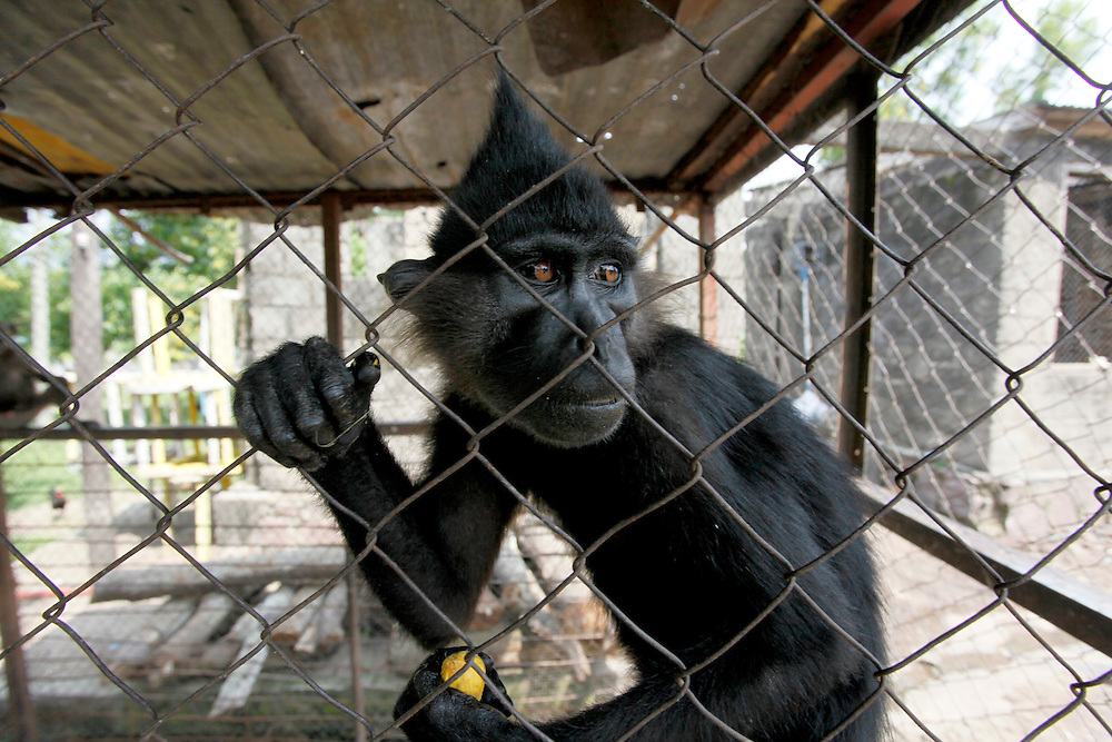 Monkey keep in cage at a riverside restaurant.  Kinshasa, Democratic Republic of Congo.