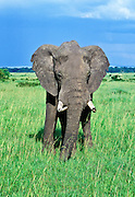 Male African Elephant, Loxodonta africana, on the plains of Maasai Mara National Reserve, Kenya, Africa