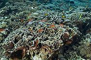 Anthias fish (Anthias anthias), Nusa Penida island, Bali, Indonesia.