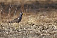 african wattled lapwing, Vanellus senegallus