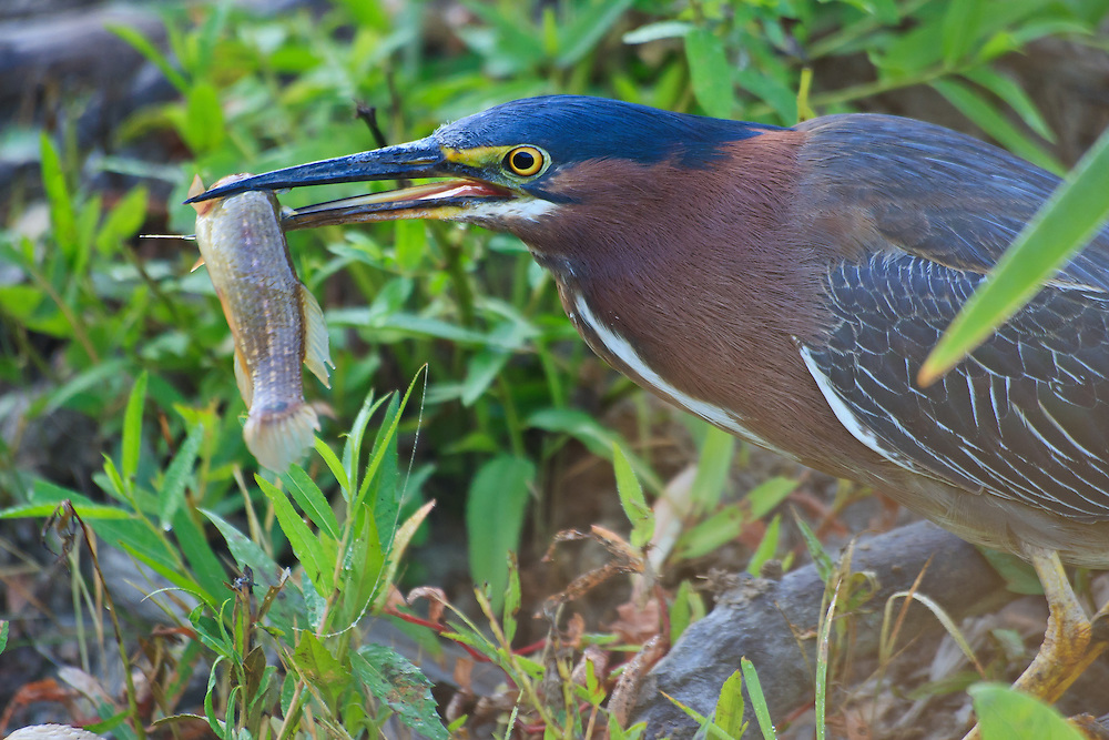 An adult green heron (Butorides virescens) swallowing a freshly caught fish on top of a beaver lodge, Huntley Meadows Park, Alexandria, Virginia.