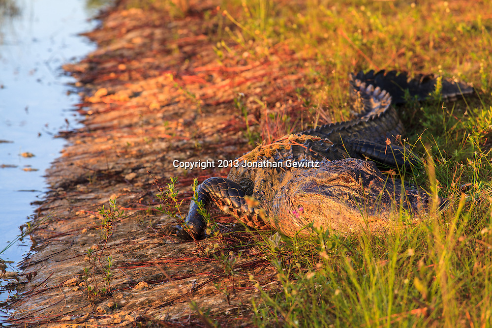 An alligator basks in the first rays of morning sun on the grassy bank of the pond at Long Pine Key in Everglades National Park, Florida. WATERMARKS WILL NOT APPEAR ON PRINTS OR LICENSED IMAGES.
