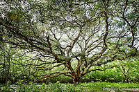 Live Oak tree in Brazos Bend State Park.<br /> <br /> Available Sizes: 7x11, 13x19, 16x24