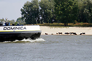 Nederland, Nijmegen, 19-8-2018 Door de aanhoudende droogte staat het water in de rijn, ijssel en waal extreem laag . Schepen moeten minder lading innemen om niet te diep te komen . Hierdoor is het drukker in de smallere vaargeul. Door uitblijven van regenval in het stroomgebied van de rijn komt het record, laagterecord in zicht . Veel mensen vermaken zich op het strand wat door het lage water ontstaan is. wilde runderen, koeien, galloway runderen staan aan de overkant aan en in het water voor verkoeling en drinken .Foto: Flip Franssen