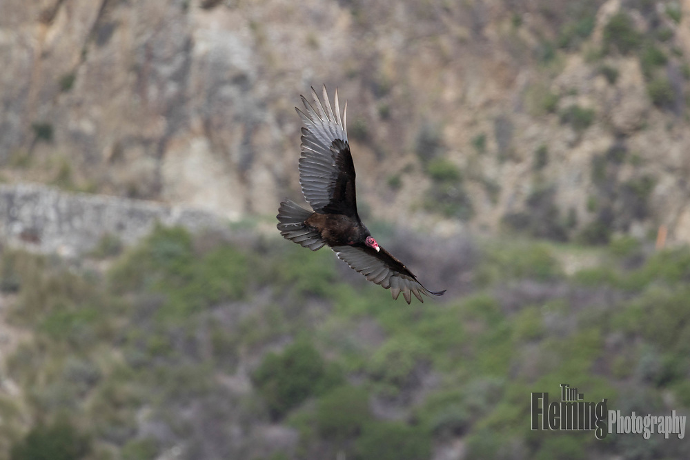 Turkey vulture soaring over the cliffs of Big Sur, California