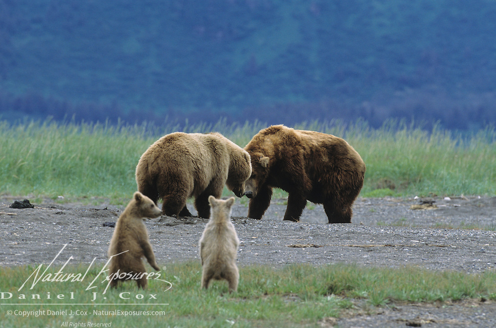 Alaskan Brown Bear mother with her two cubs, fighting a male bear. Alaskan Peninsula, Alaska
