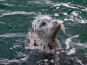 Pacific Harbor Seal (Phoca vitulina), San Juan Islands, Washington, USA