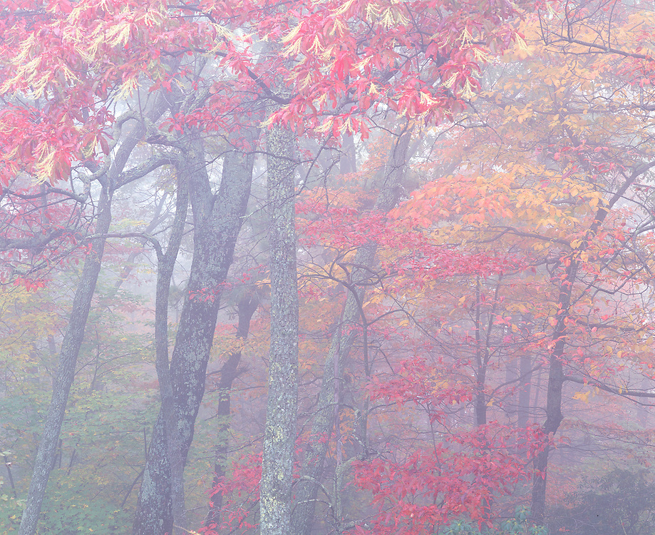 autumn oak and maple trees in fog, Blue Ridge Parkway, NC
